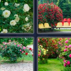 4 fotos 1 palabra rosales